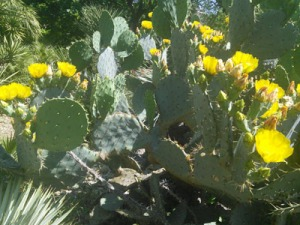 If you visit the grounds of the Alamo in April and May, you can see the large prickly pear cacti blooming and beginning to bear their fruit. You can buy both the leaves and the fruit at many South Texas grocery stores if you want to try cooking them yourself!
