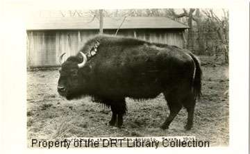 Photoprint of one of the first buffalo given to the San Antonio Zoo by George W. Brackenridge.